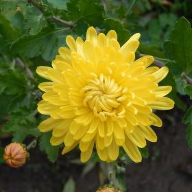 Chrizantena, poslední květina podzimu.