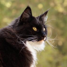 Šumavská kočka