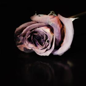 uvadlá růže