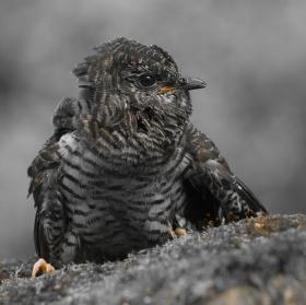Kukačka obecná - mládě  WILDLIFE