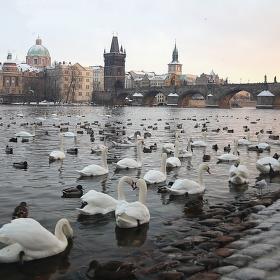 Praha labutí