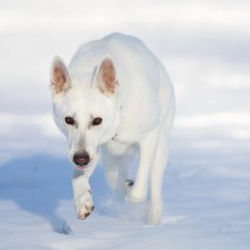 Pes na sněhu