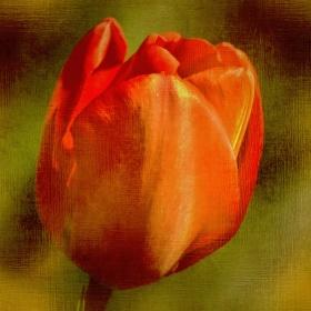 Probuzené jaro : Tulipán