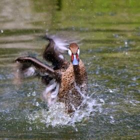 Vodní tanec