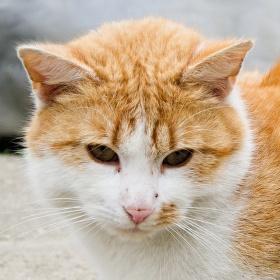 Kočka domácí.