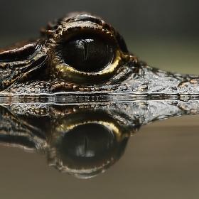 Krokodýl čelnatý