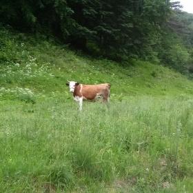 Divoká kráva