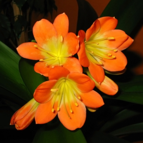 Kvetoucí Klivie