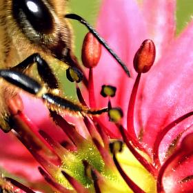 Včela a květ Netřesku.