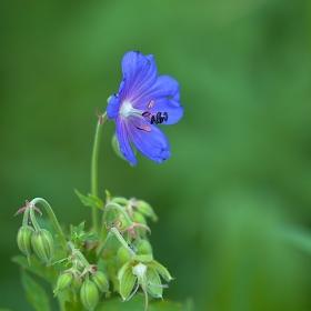 kakost luční ( Geranium pratense)