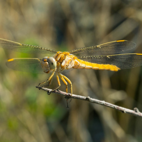 Vážka žlutoskvrnná