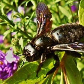 včela,která k nám létá každý rok...