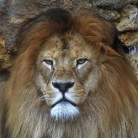 lev v zoo - Bojnice