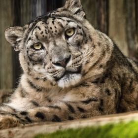 Leopard snežný  (Panthera uncia)