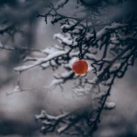 Zimní jablko