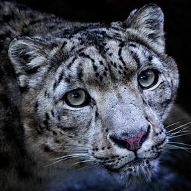Levhart sněžný