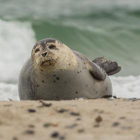 Tuleň z Helgolandu :-)