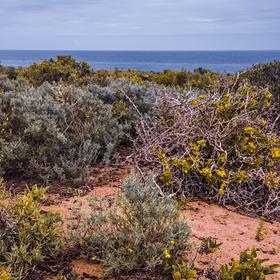 Jaro u Atlantiku (Felicia cf. filifolia)