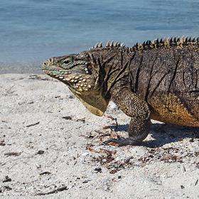 Rock iguana (Cyclura nubila nubila)