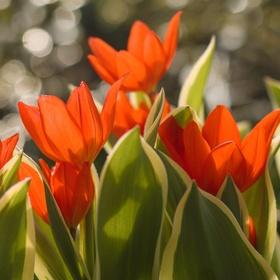 První tulipánky
