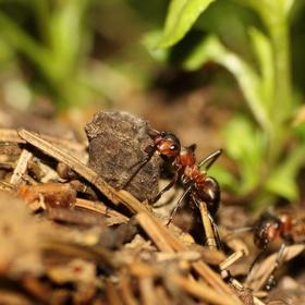 Mravenec a břemeno