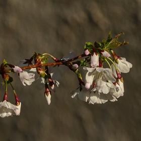 Sakura v ranním sluníčku...