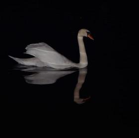 Noční labuť