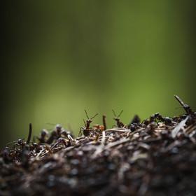 Mravenec Z