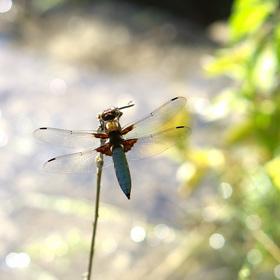 Vážka ploská (sameček)