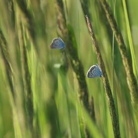 modráskové