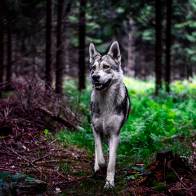 Wolf forest 1