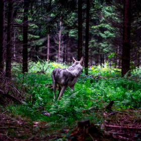 Wolf forest 2