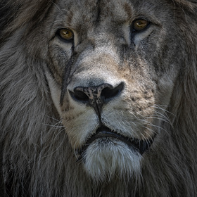 Otec lvíčete