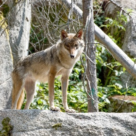 Vlk ze Šumavy