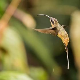 Kolibřík bělovousý