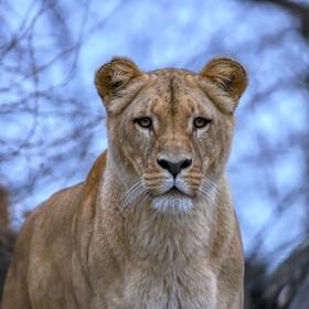 Lvice konžská