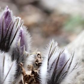 Koniklece v botanické už také kvetou