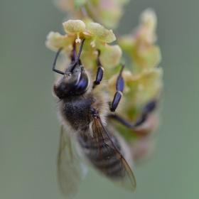 svačící včela