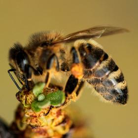 Včela na  rakytníku