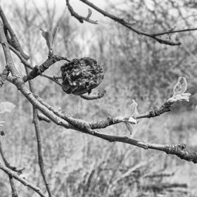 Jablko po zimě