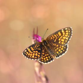 Hnedáčik skorocelový (Melitaea athalia)