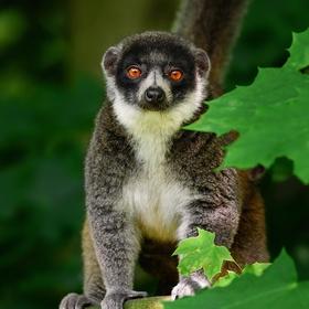 Lemur mongoz (Eulemur mongoz)