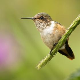 Kolibřík jiskřivý