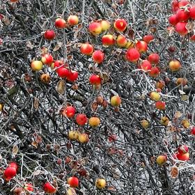 Jablečný blues
