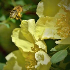 Včelí jarní putování