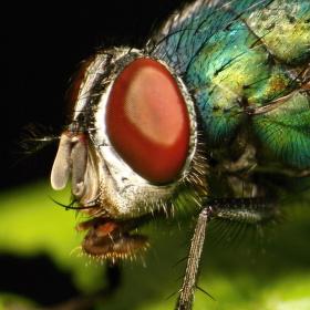 Moucha zelená