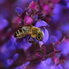 Jihlavská včelka