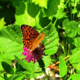 Motýlí jetel