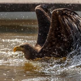 Labuť orlí