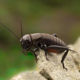 Cvrček polní